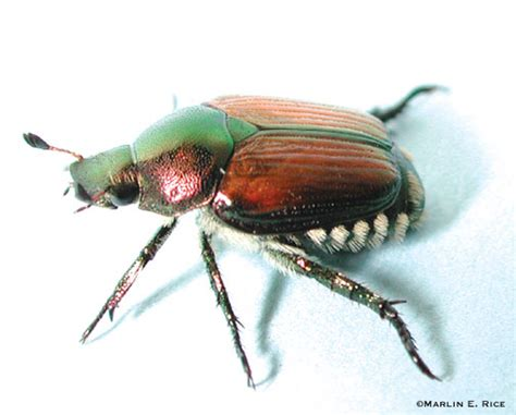 asian beetle allergy jpg 504x406