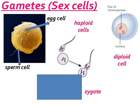 Why must sex cells be haploid jpg 638x479